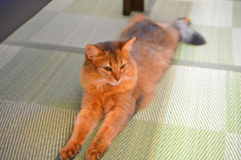 マロンちゃん リビングのカーペットを畳にしたら気に入ってびろ~ん