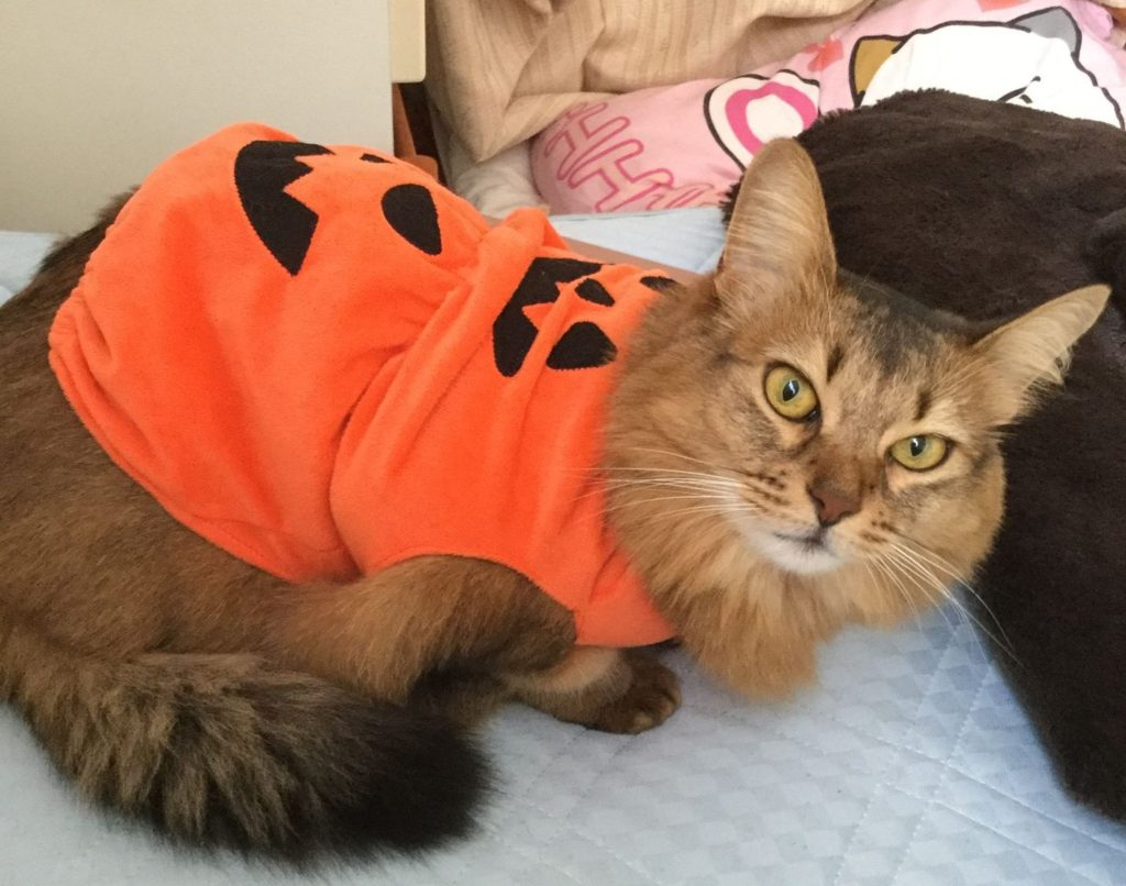 マロンちゃん、かぼちゃの衣装合わせに着せたらそのまま朝まで着てました。