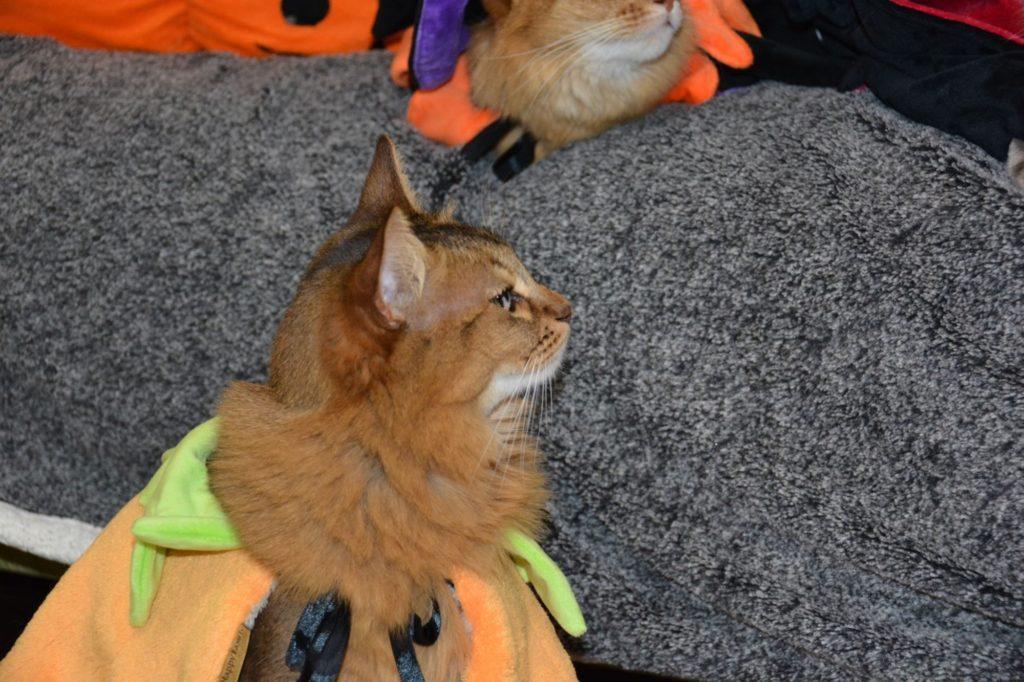 マロンちゃん、かぼちゃマントバージョン